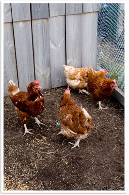 Refugee Chooks