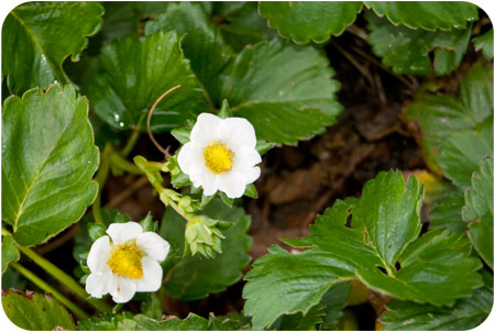 garden-strawberryflowers