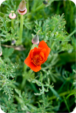 garden_poppy