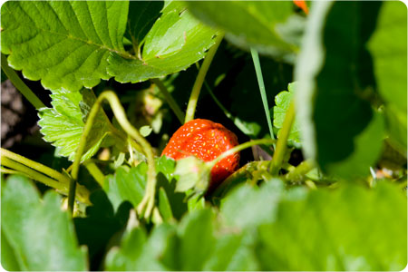strawverry plant