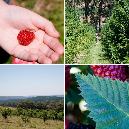 Berry picking... and a berry blissy homemade icy poles
