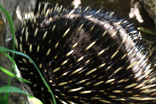 sleepless nights echidna