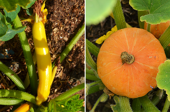 yellow zuchinni and golden nugget pumpkins