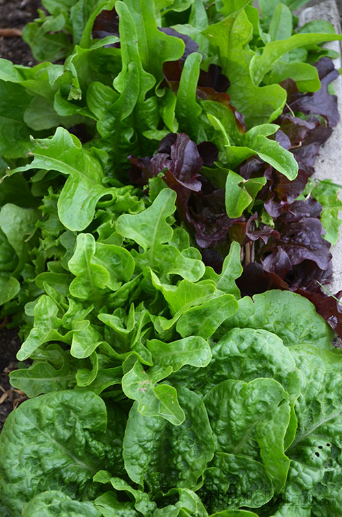 Kid friendly food gardening - eating what you grow! An easy spring salad and balsamic dressing