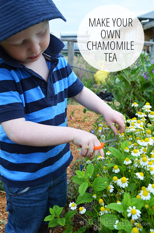 Make your own chamomile tea - it's easy once you get the chamomile to grow!