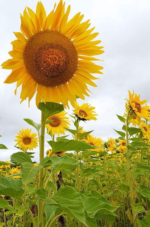 This week - random ramblings about sunflowers and other things