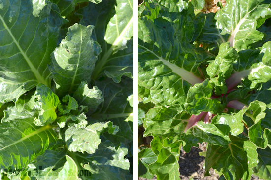 growing spinach and silverbeet