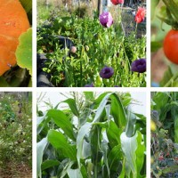 Simple Tips for a Successful Veggie Garden